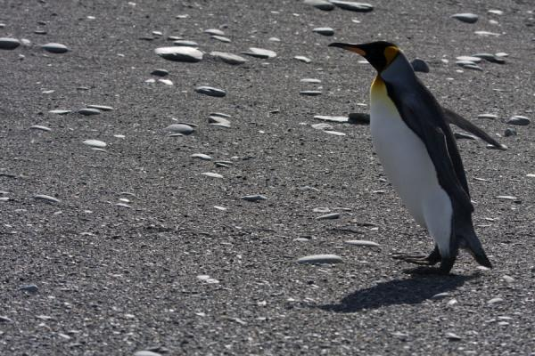 Foto de King penguin struggling against the windSaint Andrews Bay - Islas Georgias del Sur y Sandwich del Sur