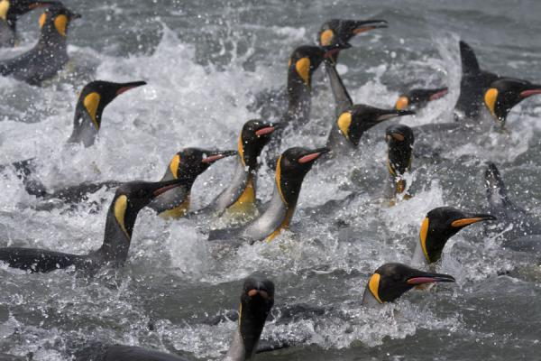 Foto de King penguins going for a swimSaint Andrews Bay - Islas Georgias del Sur y Sandwich del Sur