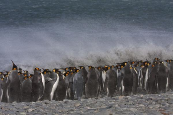 Picture of King penguins braving the elements with hurricane force winds