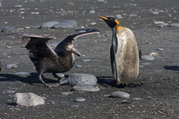 Foto di Giant petrel and King penguin engaged in a dance of deathSaint Andrews Bay - Georgia del Sud e isole Sandwich meridionali