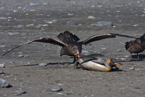 Picture of Saint Andrews Bay (South Georgia and South Sandwich Islands): King penguin being eaten alive by a giant petrel