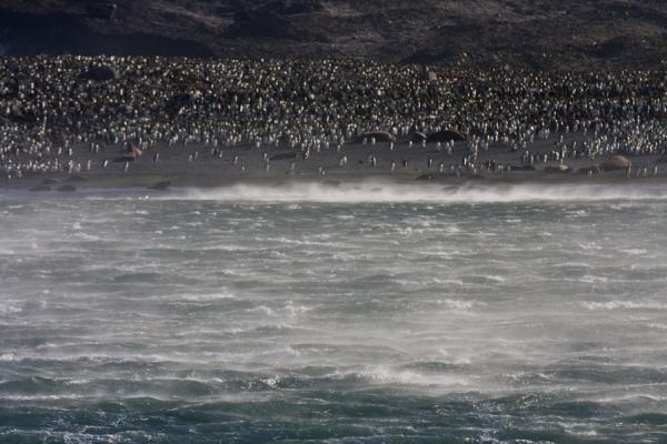 Foto de Spray blown across the water with King penguin colony in the background - Islas Georgias del Sur y Sandwich del Sur - Antártida