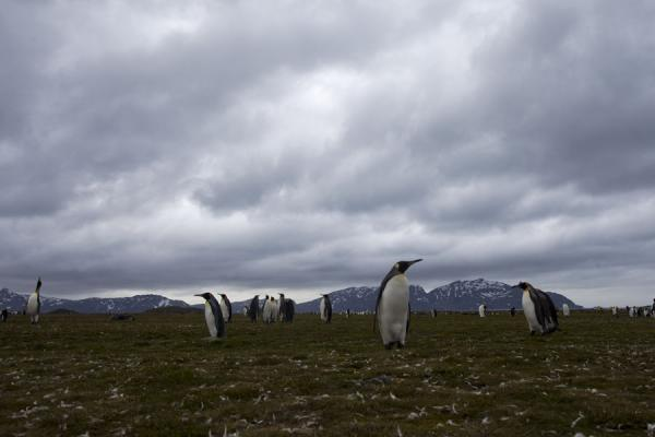 King penguins walking the plains of Salisbury | Salisbury Plain | South Georgia and South Sandwich Islands