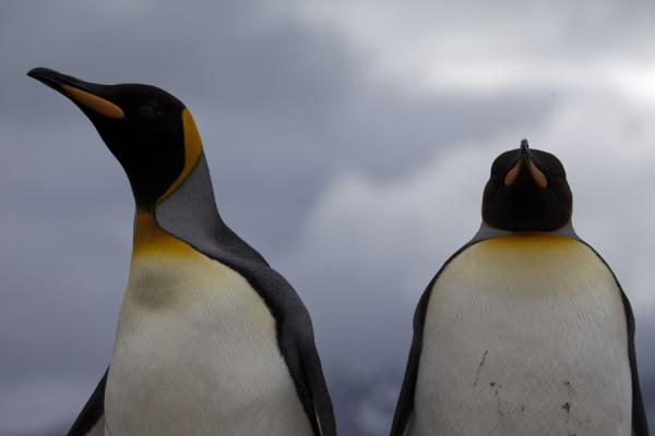 Foto van Close-up of King penguins - Zuid Georgia en de Zuidelijke Sandwicheilanden - Antarctica