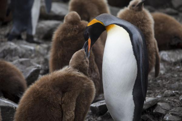 Picture of Chick King penguin being fed by a parent