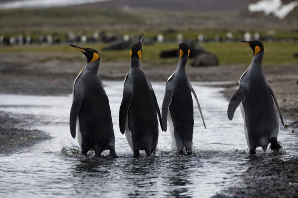 King penguins crossing a small river | Salisbury Plain | 南乔治牙和南三明治群岛