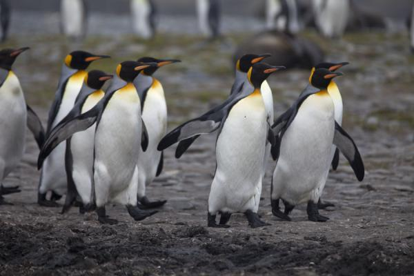 Picture of King penguins going for a walk - South Georgia and South Sandwich Islands - Antarctica