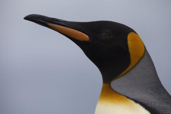 Gracious head of a King penguin in close-up - 南乔治牙和南三明治群岛 - 南极洲