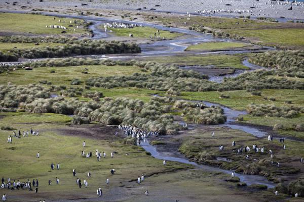 River with King penguins seen from above | Salisbury Plain | 南乔治牙和南三明治群岛