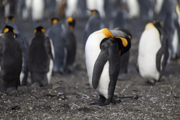 King penguin cleaning up himself | Salisbury Plain | Islas Georgias del Sur y Sandwich del Sur