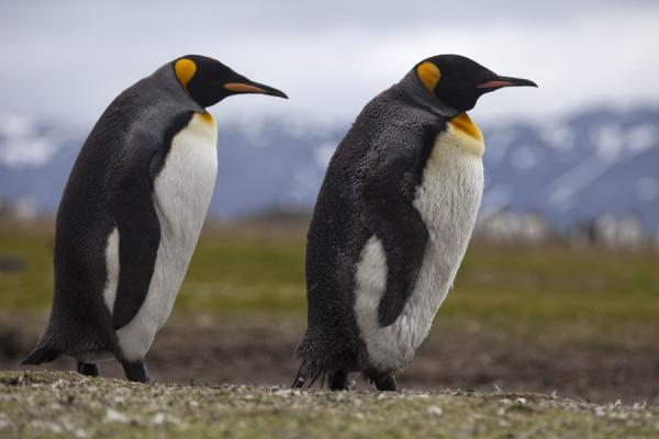 Two King penguins walking | Salisbury Plain | South Georgia and South Sandwich Islands