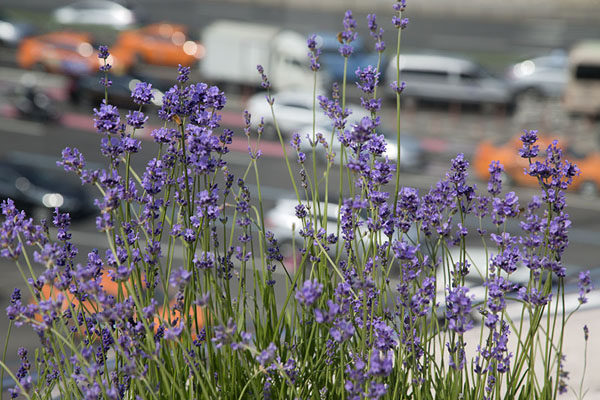 Seoul traffic seen behind flowers on the walkway | Seoullo 7017 | Corea del Sur