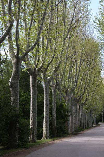 Row of sycamore trees in Campo del Moro | Campo del Moro | Spain