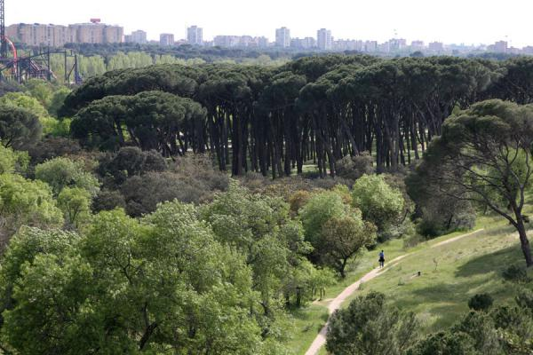 Group of remarkable trees in Casa de Campo | Casa de Campo | Spain