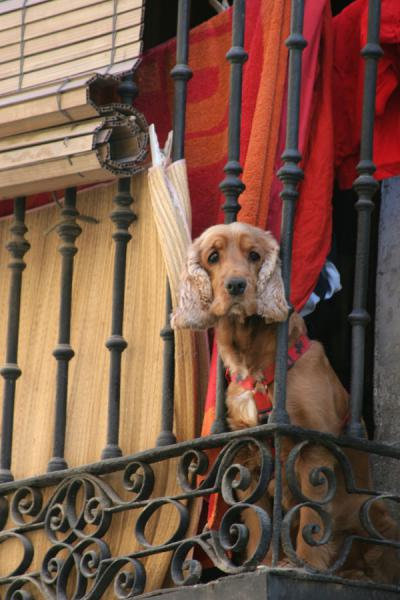 Dog looking down from balcony in Latina | Latina | Spain