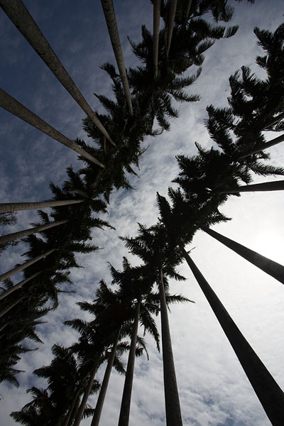 Looking up the double lines of cabbage palm trees | Jardin botanique de Kandy | Sri Lanka