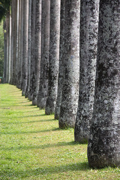 Line of palm trees at Cabbage Palm Tree Avenue | Botanische Tuin van Kandy | Sri Lanka