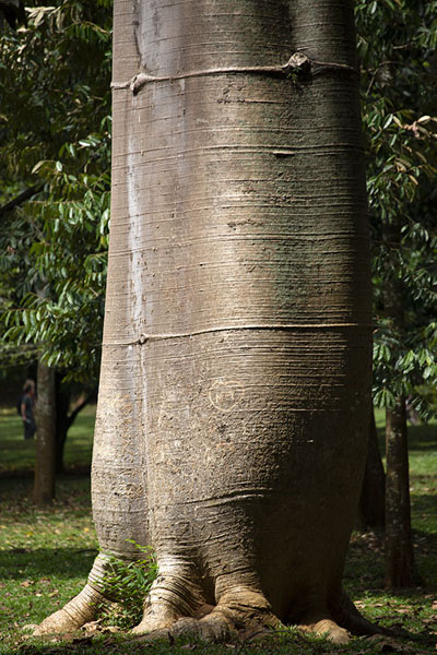 Lower part of a baobab tree in the Botanic Garden | Botanische Tuin van Kandy | Sri Lanka