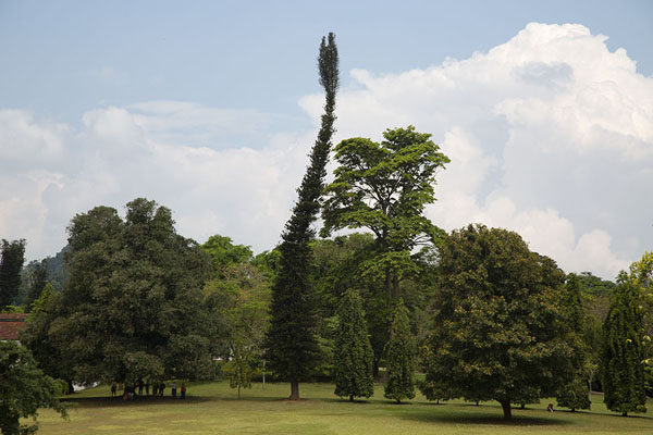 Curiously growing pine tree in the Botanic Garden | Botanische Tuin van Kandy | Sri Lanka