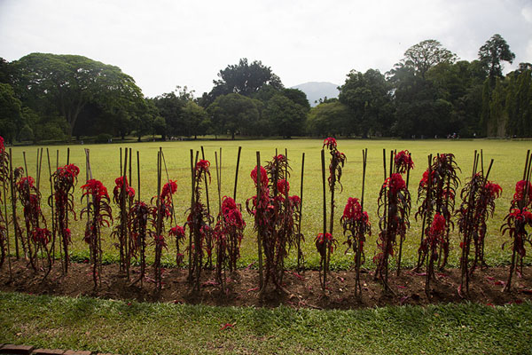 Picture of Red flowers lining the Great Circle in the central part of the Botanic Gardens - Sri Lanka - Asia