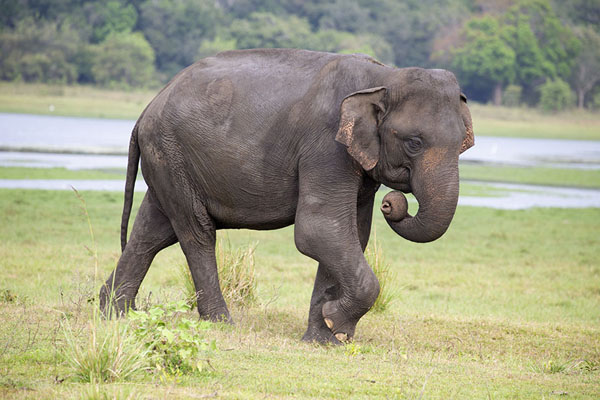 Foto di Elephant with curly trunk and Minneriya reservoir in the backgroundMinneriya - Sri Lanka