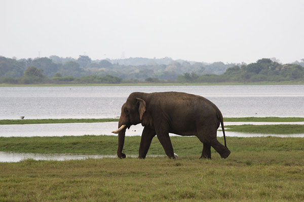 Male elephant with tusks walking the shore of Minneriya reservoir | Minneriya safari | Sri Lanka