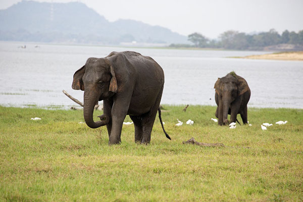 Two elephants with Minneriya reservoir in the background - 斯里兰卡