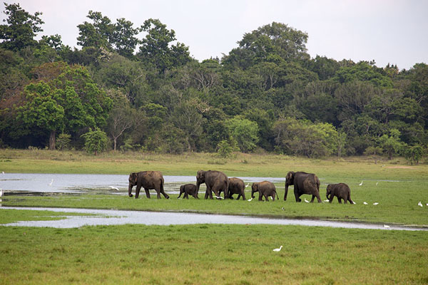 Group of adult and young elephants on the shores of Minneriya reservoir | Minneriya safari | Sri Lanka
