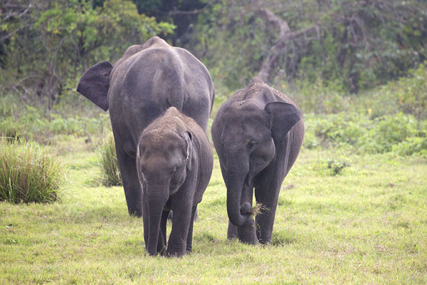 Two young elephants with adult in the background | Minneriya safari | 斯里兰卡