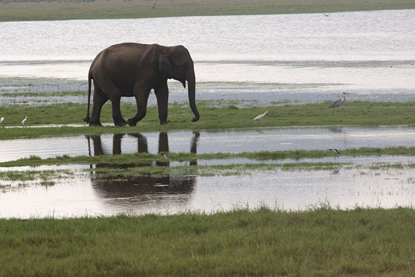 Photo de Elephant and reflection in the waters of Minneriya reservoirMinneriya - Sri Lanka