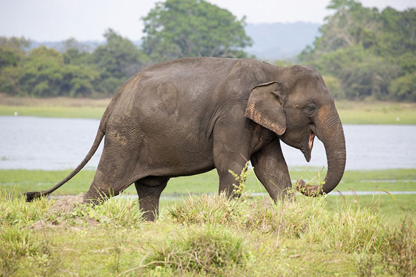 Elephant walking near the shore of Minneriya reservoir | Minneriya safari | 斯里兰卡