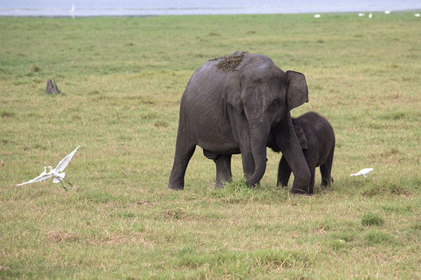 Foto de Young elephant with its mother and a bird near Minneriya reservoir - Sri Lanka - Asia