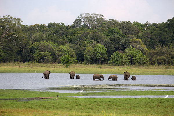 Foto van Group of young and adult elephants in Minneriya reservoir - Sri Lanka - Azië