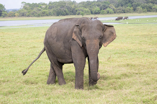 Foto de Elephant walking the shore of Minneriya reservoirMinneriya - Sri Lanka