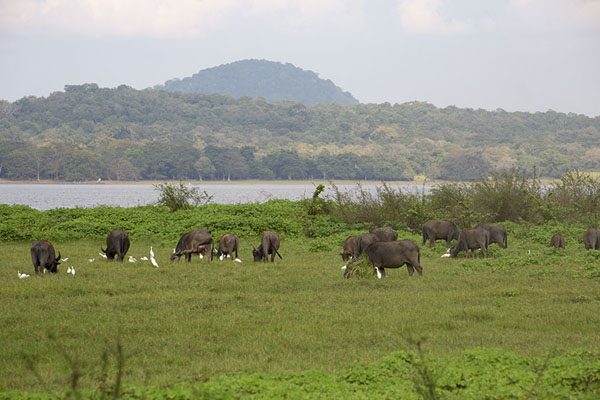 Foto de Shores of Minneriya reservoir with herd of buffaloes and group of birds - Sri Lanka - Asia
