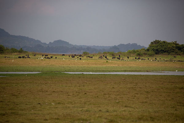Large herd of buffaloes on the shores of Minneriya reservoir | Minneriya safari | Sri Lanka
