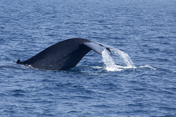 Picture of Fluke of a diving blue whaleMirissa - Sri Lanka