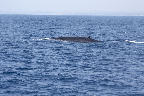 Foto de Part of the back of a blue whale as it surfacesMirissa - Sri Lanka
