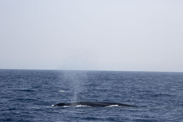 Whale blowing air into a spray south of Sri Lanka | Mirissa whale watching | 斯里兰卡
