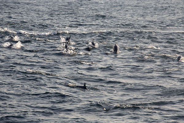 Foto de Group of spinner dolphins speeding towards our boatMirissa - Sri Lanka