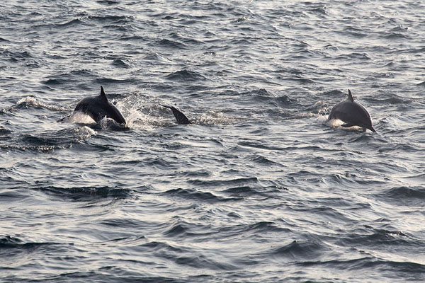 Foto di Spinner dolphins jumping out of the sea - Sri Lanka - Asia