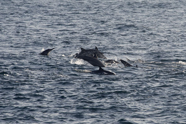 Foto de Spinner dolphins swimming and jumping towards our boat - Sri Lanka - Asia