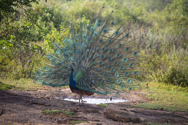 Foto van Peacock in full glory in search for femalesUda Walawe - Sri Lanka
