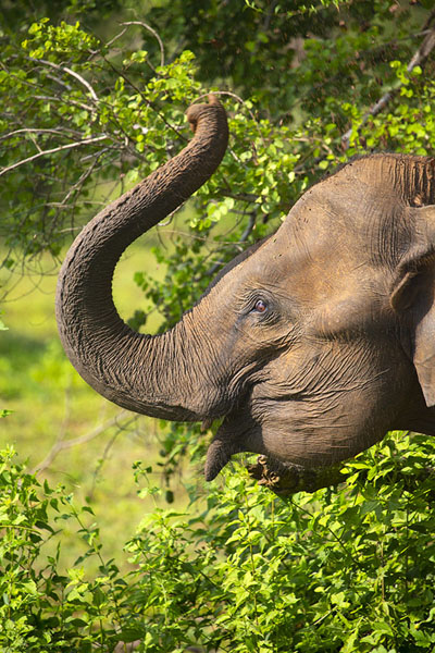 Elephant with raised trunk in Uda Walawe National Park | Uda Walawe safari | 斯里兰卡