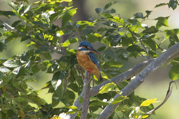 Photo de Colourful kingfisher in a tree on the banks of the reservoir of Uda Walawe - Sri Lanka - Asie