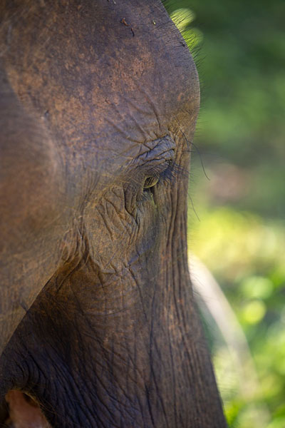 Foto van The wrinkled face of an elephant in Uda Walawe - Sri Lanka - Azië