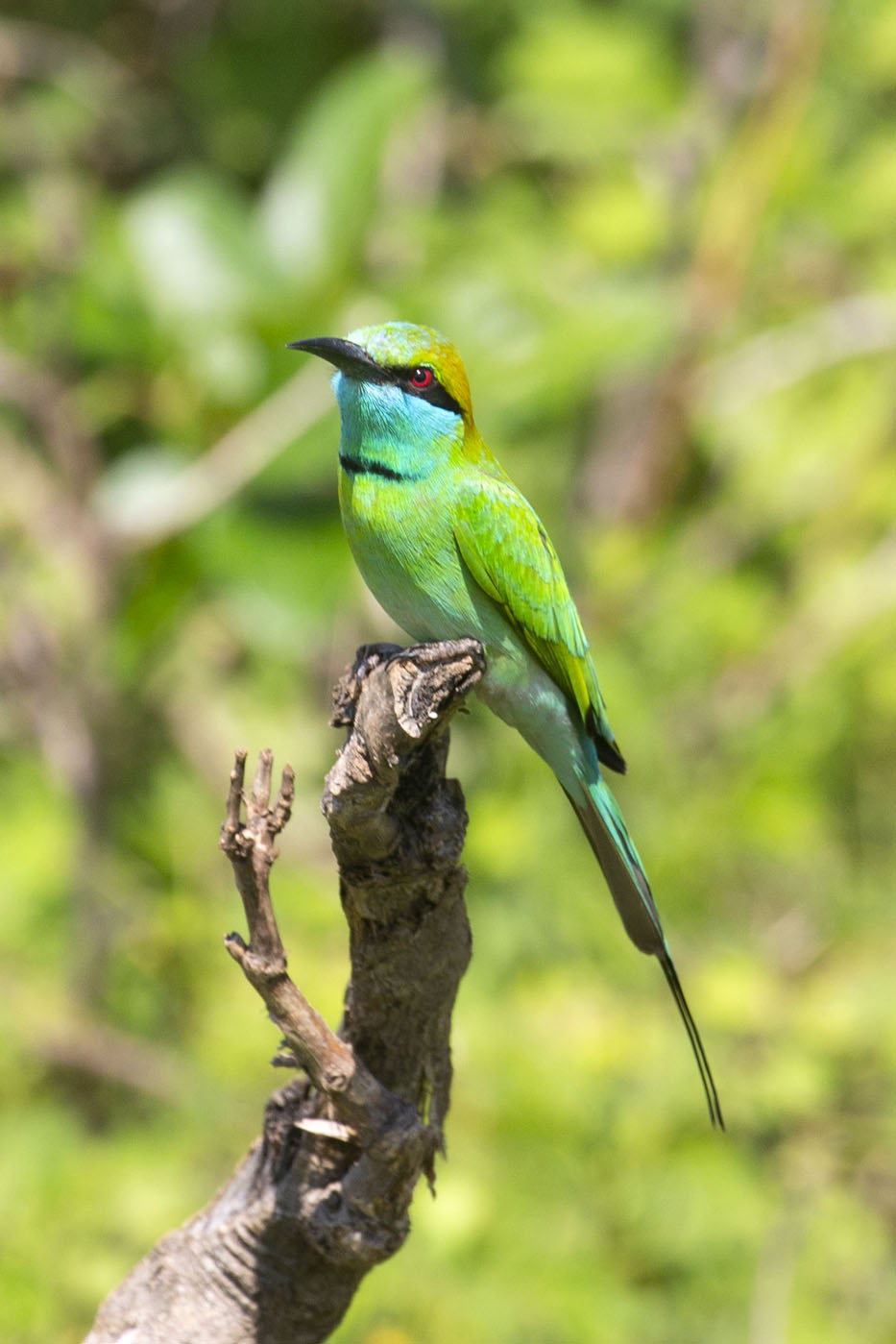 Foto van Bee-eater in the bright sunlight in Uda WalaweUda Walawe - Sri Lanka