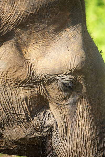 Close-up of elephant head in Uda Walawe | Uda Walawe safari | 斯里兰卡