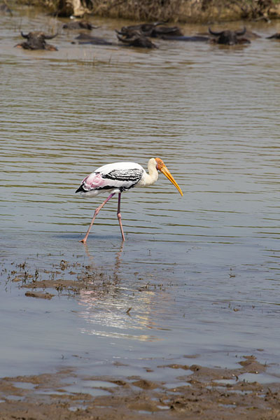 Foto de Stork on the hunt for food in the shallow waters of the reservoir of Uda WalaweUda Walawe - Sri Lanka