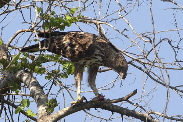 Foto van Eagle taking a small bird for breakfastUda Walawe - Sri Lanka